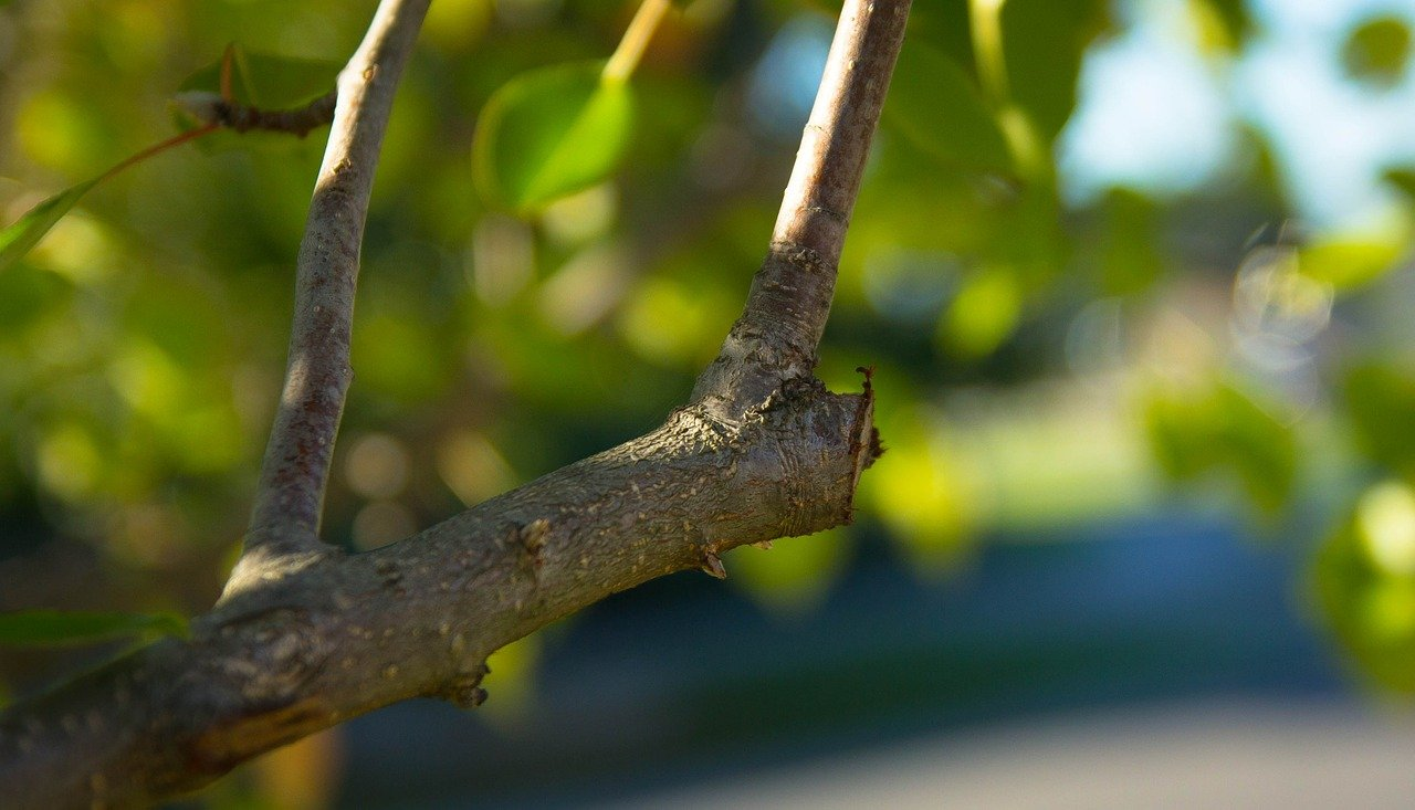 tree pruned before winter in North Carolina