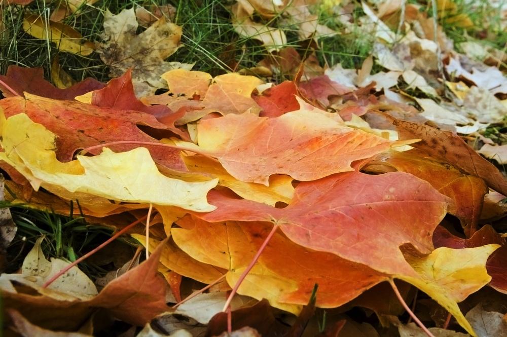 leaf pile in lawn in fall